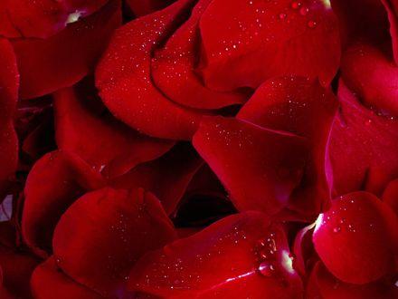 Обои Лепестки роз