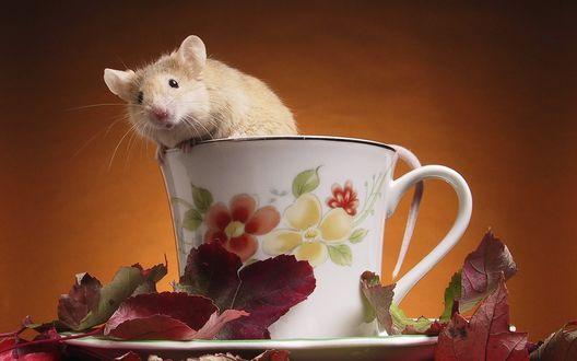 Обои Любопытная крыса в чайной чашке