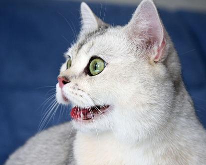Обои Удивленный зеленоглазый кот