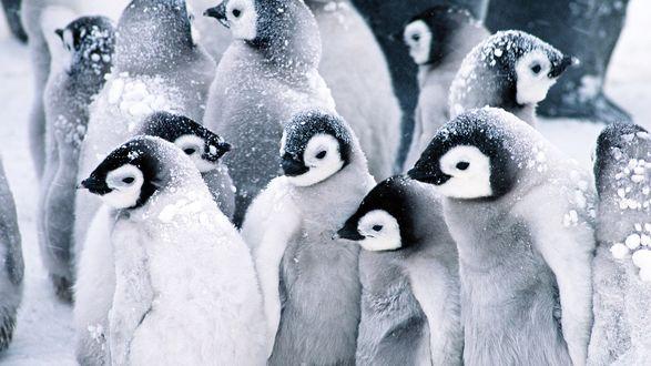 Обои Сообщество пингвинов под снегом