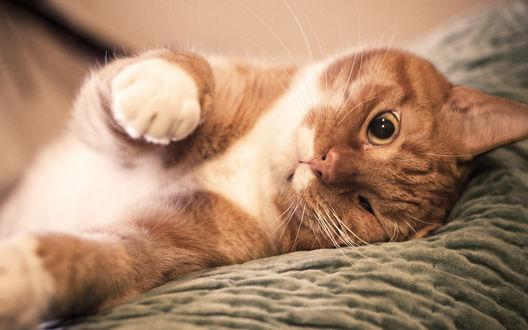 Обои Рыже белый кот открыл один глаз