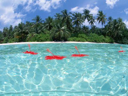 Обои Красные цветы плавают на водной глади