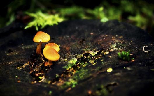 Обои Жёлтые грибы
