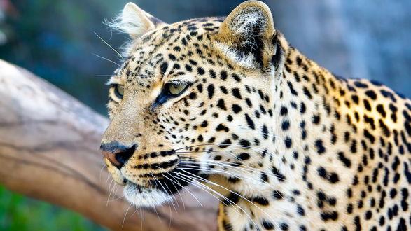 Обои Леопард на фоне дерева