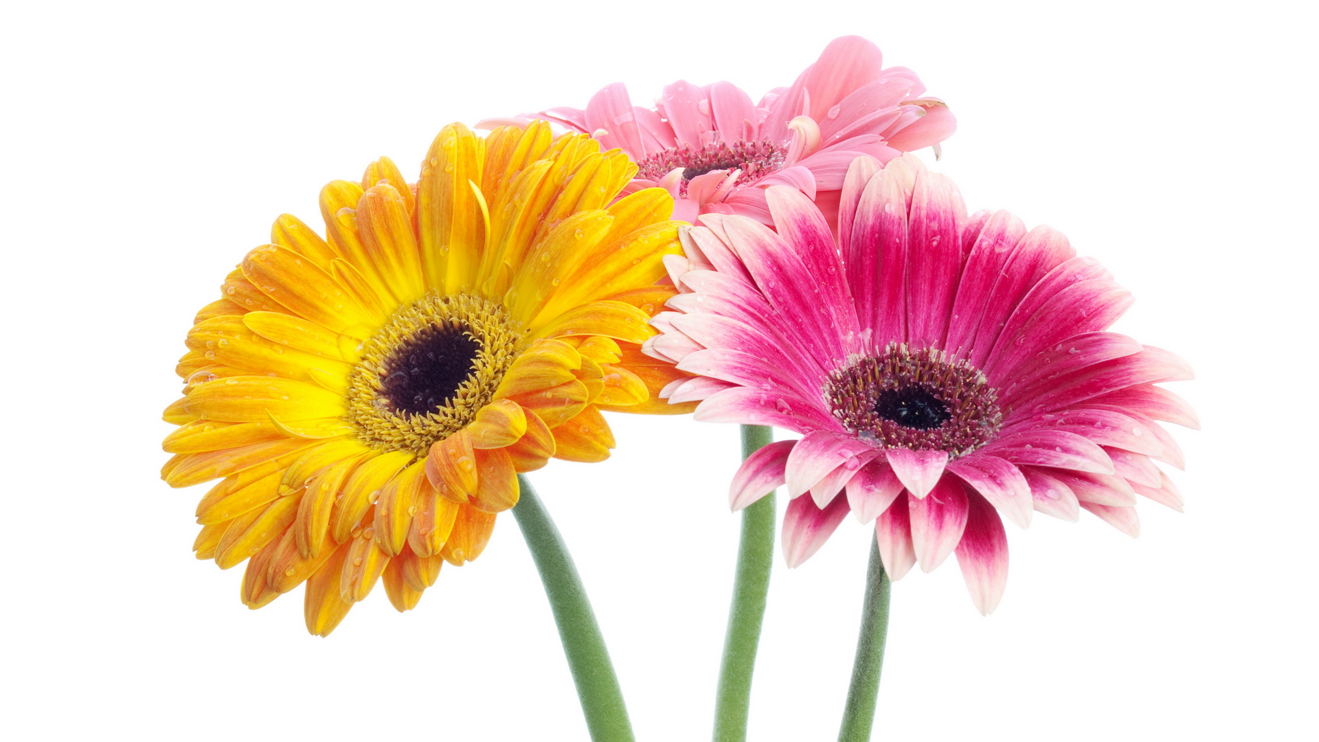 Gerbera flowers flower 1920x1080