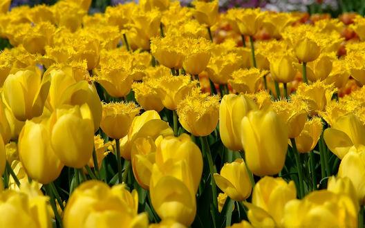 Обои Жёлтые тюльпаны