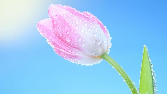 Обои Розово-белые тюльпан на голубом небе