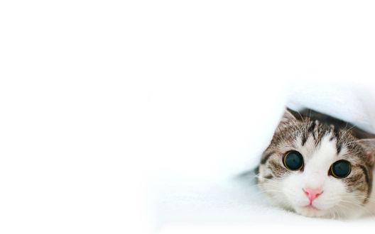 Обои Кошка в белом одеяле лежит и смотрит на вас