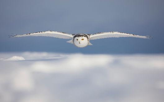 Обои Полярная сова в полёте