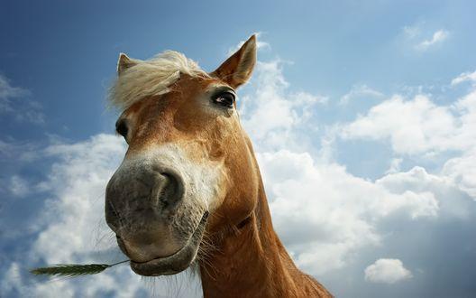 Обои Морда лошади на фоне неба