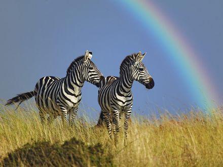 Обои Зебры на фоне радуги