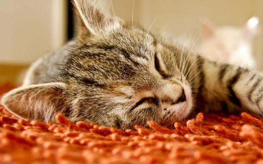Обои Полосатый котик спит на мягком ворсе