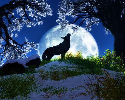 Обои Волк воет на полную луну