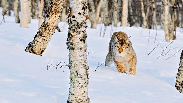Обои Рысь зимой в лесу