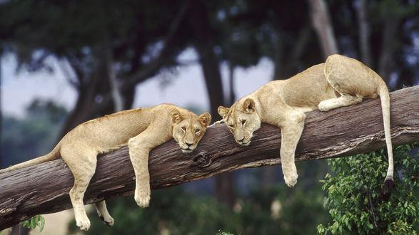 Обои Львицы лежит на дереве