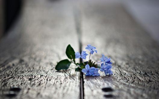 Обои Голубые цветы пробиваются сквозь щель в досках