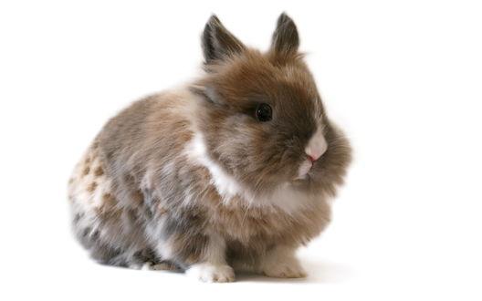 Обои Пушистый кролик