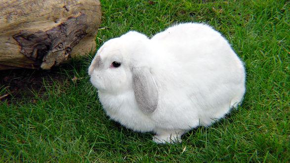 Обои Белый кролик на травке