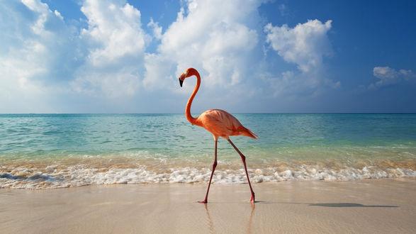 Обои Розовый фламинго идет вдоль линии прибоя