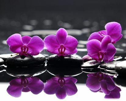Обои Орхидеи разложены на чёрных камнях у воды