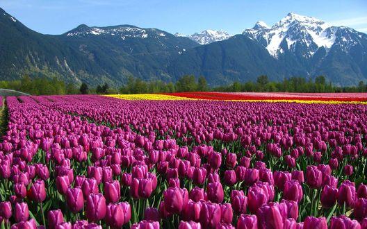 Обои Поле разноцветных тюльпанов у подножья гор