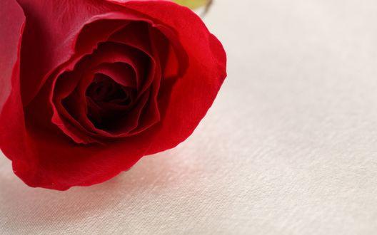 Обои Красная роза