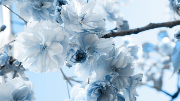 Обои Цветущая нежными бело-голубыми цветами ветка дерева