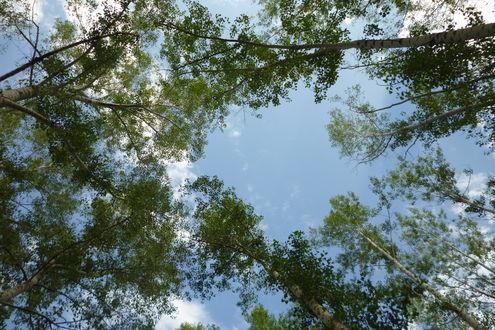 Обои Небо сквозь кроны деревьев