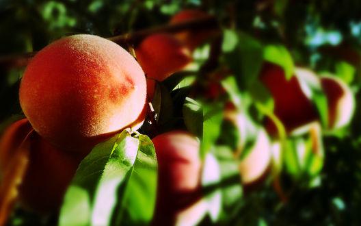 Обои Свежие персики