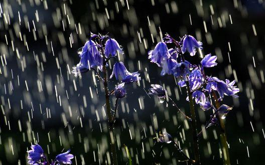 Обои Капли дождя и колокольчики