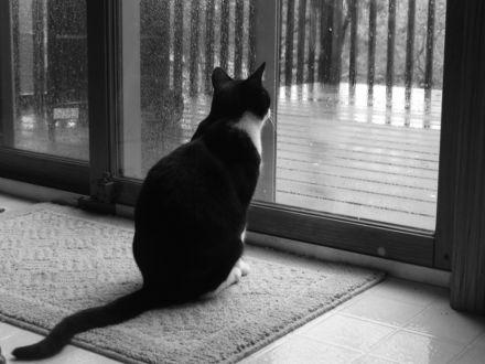 Обои Черно-белый кот смотрит на дождь за окном