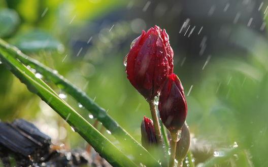 Обои Тюльпаны мокнут под летним дождиком