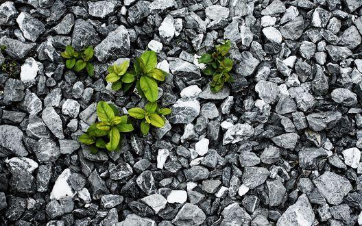 Обои Между камней прорастают растения