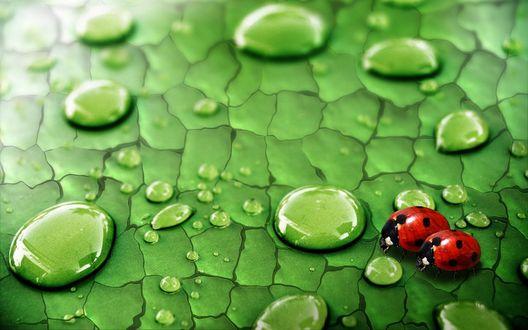 Обои Две божьих коровки на зеленом листе с каплями