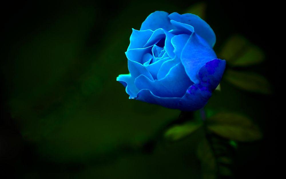 Обои для рабочего стола Голубая роза