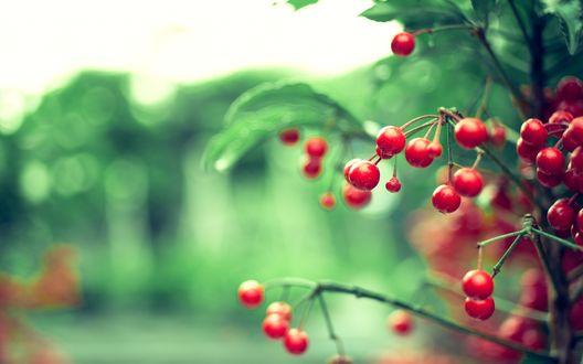 Обои Гроздья красных ягод