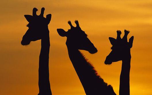 Обои Тени трех жирафов