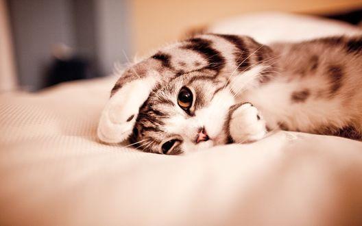 Обои Полосатый котенок прикрылся лапкой