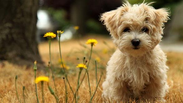 Обои Собака болонка сидит возле цветов
