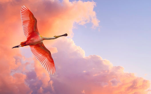 Обои Розовый пеликан в небе