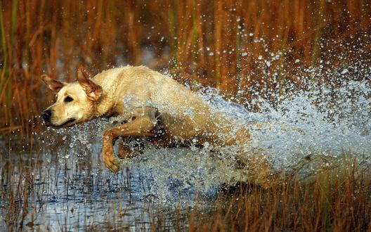 Обои Собака бежит по озеру