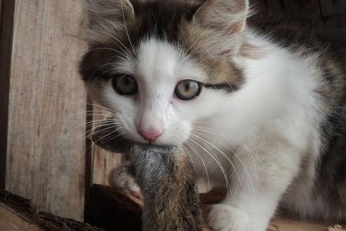 Обои Серо-белый котенок