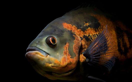 Обои Аквариумная рыбка семейства цихлид Глазчатый астронотус (Astronotus ocellatus)