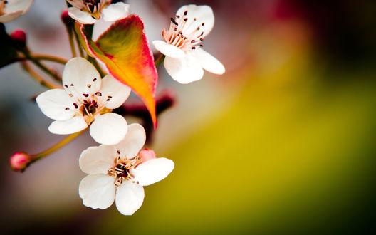 Обои Цветущая веточка вишни