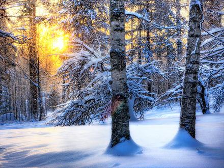 Обои Солнце светит сквозь ветви в зимнем заснеженном лесу