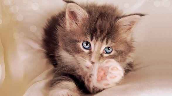 Обои Голубоглазый котенок