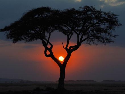 Обои Африканское дерево на закате