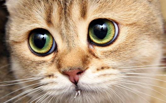 Обои Рыжий зеленоглазый кот