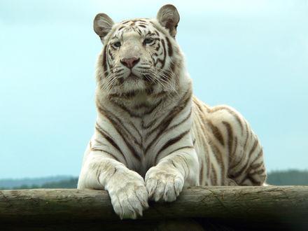 Обои Белый тигр