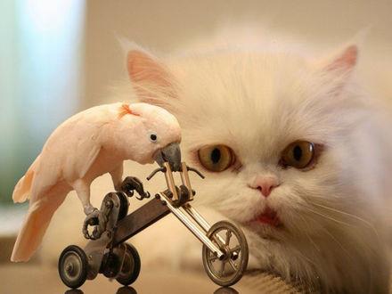 Обои Персидский кот внимательно наблюдает за попугаем, который передвигается на подобии трёхколёсного велосипеда